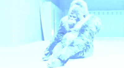 Gorilla in our midst...